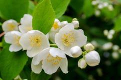 Large lush blooming jasmine bush Stock Image
