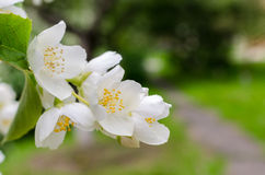 Large lush blooming jasmine bush Stock Images