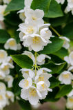 Large lush blooming jasmine bush Royalty Free Stock Photo