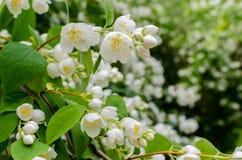 Large lush blooming jasmine bush Stock Photo