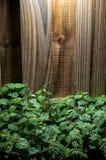 Large lush patchouli plant against wood Stock Image