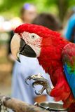 Large macaw eating a nut close-up stock image