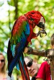Large macaw eating a nut royalty free stock images