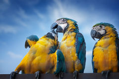 Large macaw parrots Royalty Free Stock Photo