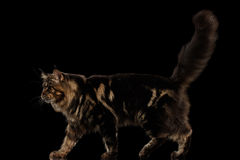 Large Maine Coon Cat Walk, furry tail, Isolated Black Background. Beautiful Large Maine Coon Cat Walk with furry tail Isolated on Black Background, Side view Royalty Free Stock Photography