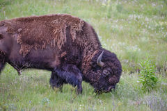 Large Majestic Bison Bull Browsing through a Green Grassy Meadow Royalty Free Stock Photos