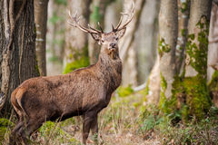 Large majestic deer in the forest Royalty Free Stock Photo
