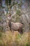 Large majestic deer stagnating tall Stock Photography