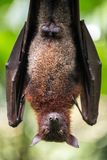 Large Malayan flying fox. Close-up portrait Royalty Free Stock Image