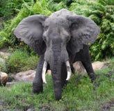 Large male African elephant with big tusks, Kenya stock photography