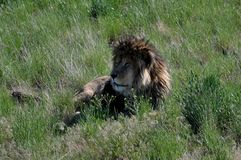 Large male African lion resting in lowland grass. Stock Images