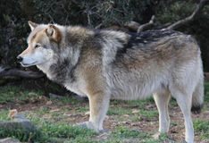 Large Male Alaskan Gray Wolf. A large Alaskan gray timber wolf searches for food Royalty Free Stock Photography
