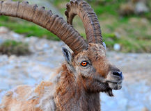 A large male alpine ibex Stock Images