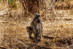 Large Male Baboon with Young Baboons in drought stricken area of central Kruger National Park. In South Africa royalty free stock photography