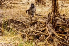 Large Male Baboon with Young Baboons in drought stricken area of central Kruger National Park. In South Africa stock images