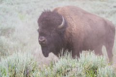 Free Large Male Bison Stock Photos - 44618063
