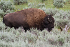 Large male bison Stock Images