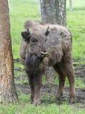 Large male bison in the forest, bison in grasslands, wild Plains Bison, European Bison (Bison bonuses) close up Stock Images