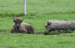 Large male bison in the forest, bison in grasslands, wild Plains Bison, European Bison Bison bonuses close up Stock Photos
