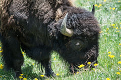 Large Male Bison Grazing Royalty Free Stock Photo