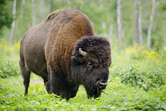 Large male of bison in national park Priokskiy Royalty Free Stock Image