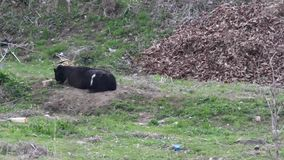 Large male black Bengal goat. With large horns tied with a rope laying on a dirt mound stock video footage