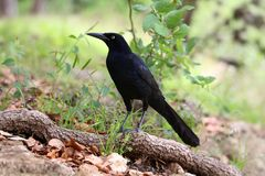 A large male blackbird or raven  on a tree limb near the ground. A large male black bird or raven on a tree limb near the ground in a park in the spring Royalty Free Stock Photo