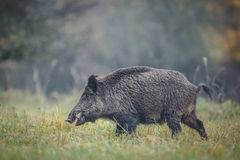 Large male boar Royalty Free Stock Image