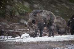 Large male boar in snow Stock Photo