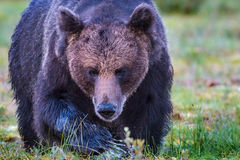 Large male brown bear approaching, horizontal Stock Photos
