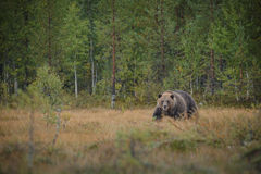 Large male brown bear in Finland Stock Photo