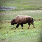 Large male buffalo Royalty Free Stock Photos