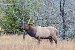 Large Male Bull Elk in a Field. In Rocky Mountain National Park, Colorado. This was during rut season, and he was starting down another male across the field stock photos