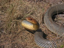 Large male of Dolichophis caspius Stock Photos