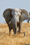 Large male elephant. Front and vertically with ears wide open in Etosha National Park Royalty Free Stock Images