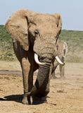 Large male elephant walking. Away from a watering hole Royalty Free Stock Photography