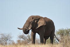 Large male elephant walking in the savannah. A large male elephant advances in the savannah of the Kruger National Park Stock Photo