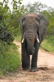 Large Male elephant walking in the veld. Tail swinging ears perked up Royalty Free Stock Photos