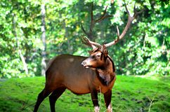 Large Male Elk Royalty Free Stock Photos