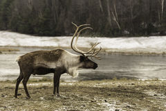 A large male elk in the winter. Large male elk in the winter stock images