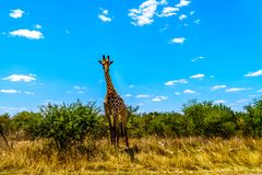 Large male giraffe under blue sky in Kruger Park Royalty Free Stock Image