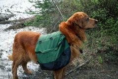 Large Male Golden Retriever Posing with a Pack On Stock Photography