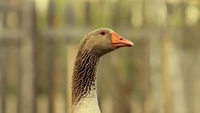 Large male goose. Aggressive domestic bird at the farm stock video footage