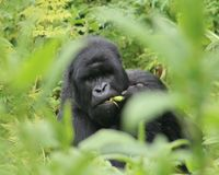 Gorilla in the undergrowth Royalty Free Stock Photography