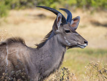 Large male greater kudu antelope with large horns portrait in savannah scenery, Moremi NP, Botswana Stock Image