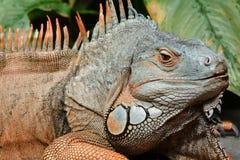 Green iguana basks in the sun stock image