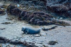 A large male grey seal in Cornwall. The beach master, is the largest toughest male of the seal colony in Cornwall England Stock Images