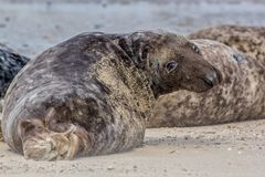 Large male grey seal from the Horsey colony Norfolk UK. Large male grey seal Halichoerus grypus from the Horsey colony Norfolk UK Stock Photography