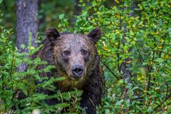 Grizzly peaking through the brush, Banff National Park, Alberta, Canada. A large male grizzly peaking through a clump of brush Stock Photo