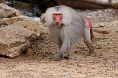 Large male hamadryas baboon walking in zoo Stock Photo